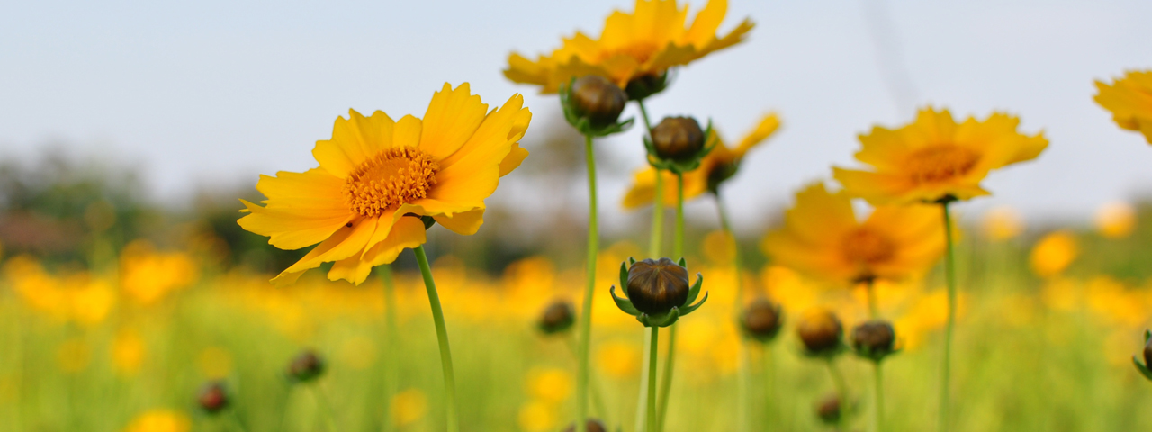 Field of Yellow Flowers 1280x480